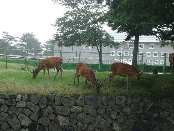 奈良吉祥物-梅花鹿