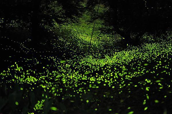 壯觀螢火蟲-1