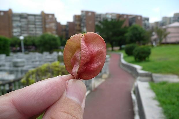 台灣欒樹的蒴果
