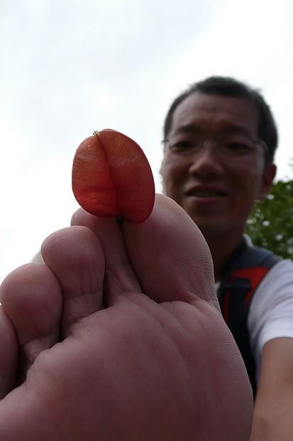 赤腳,欒樹蒴果