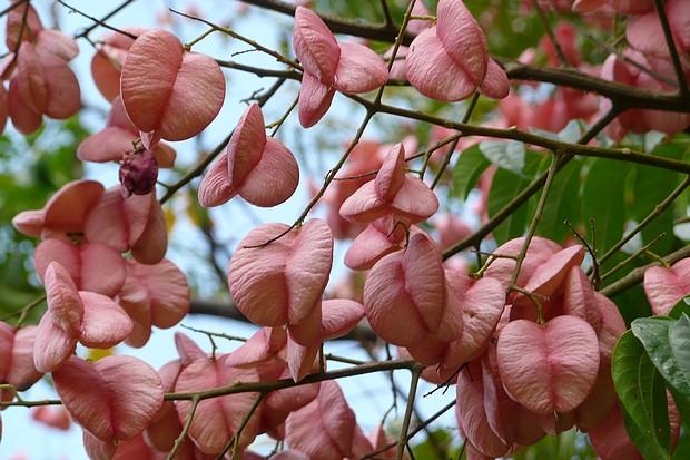 台灣欒樹像氣囊一樣的粉紅蒴果,其實粉紅氣囊狀不會維持很久(一個多禮拜吧),之後就會乾枯而變成褐色