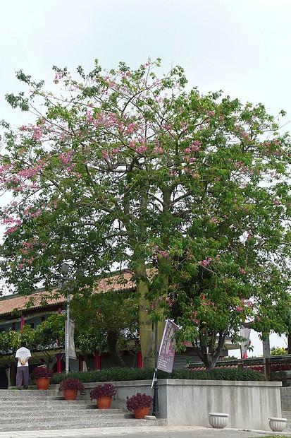 美人樹開花
