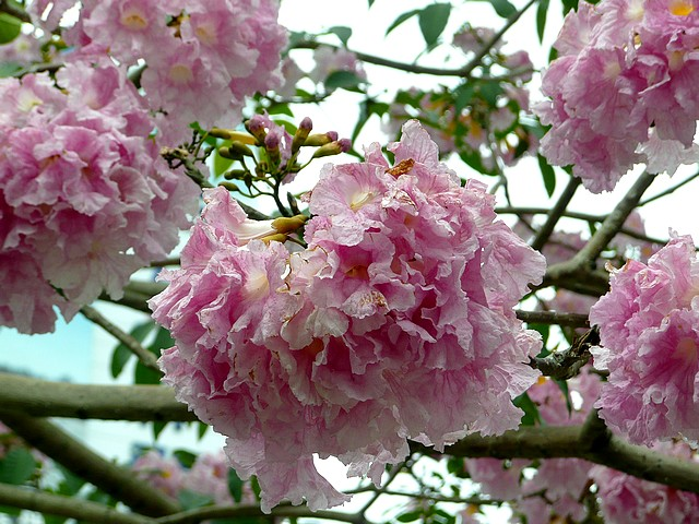 洋紅風鈴木開花