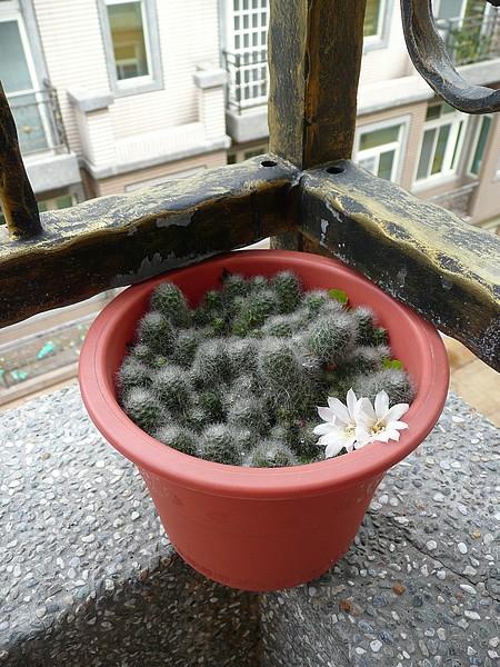 仙人掌開花