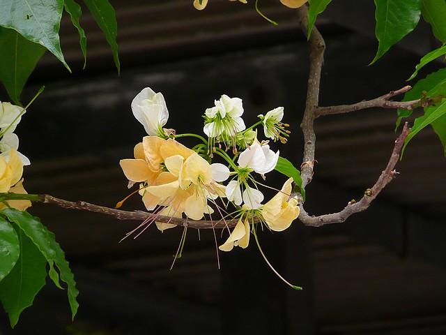 加羅林魚木開花
