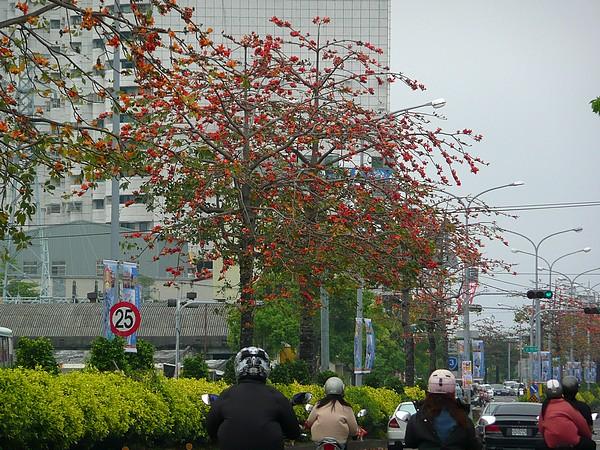 豐原中山路上的木棉樹