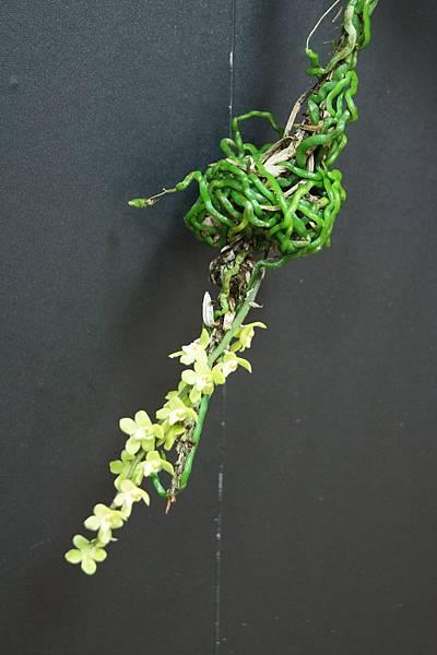 圖4.著生在柳杉枝條上的大蜘蛛蘭