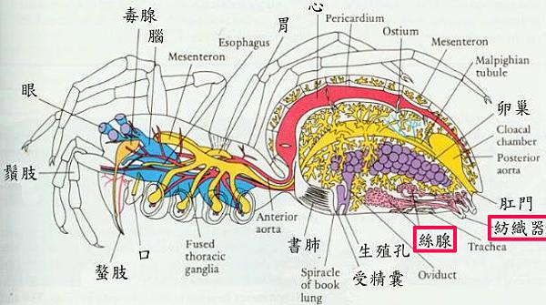 蜘蛛的構造