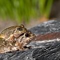 日本樹蛙-2