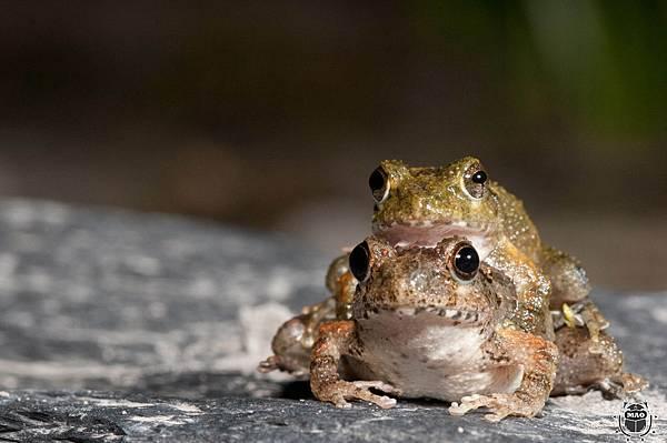 日本樹蛙-4