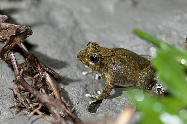 日本樹蛙-1