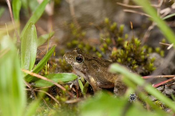 日本樹蛙-3