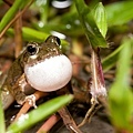 日本樹蛙-5