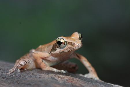 梭德氏赤蛙 by 阿達