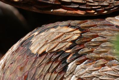 擬龜殼花 (5)