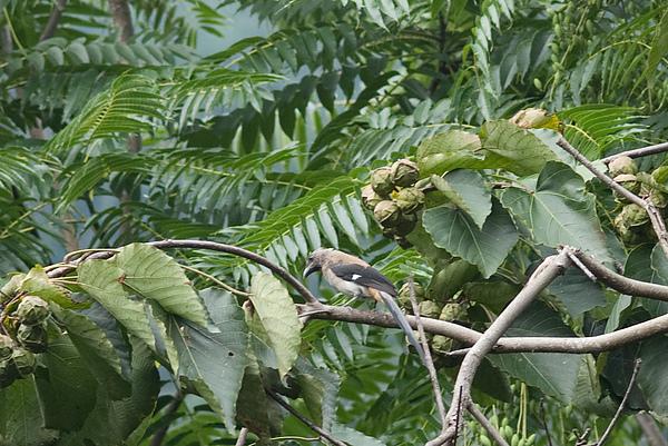 樹鵲(Dendrocitta formosae)  英名:Gray Tree Pie