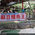 麻豆鱷魚王