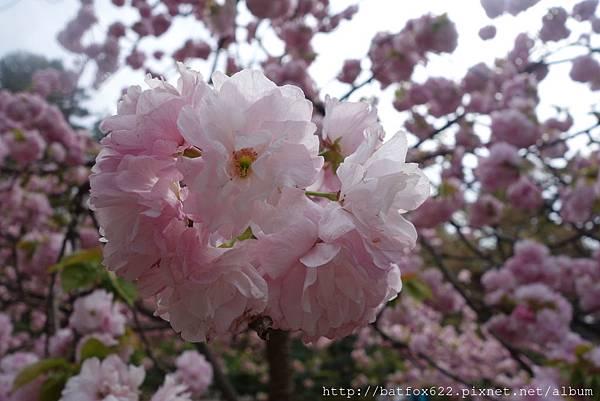 兼六園櫻花