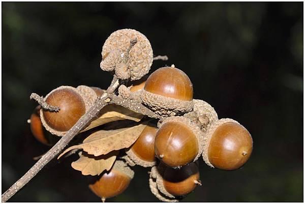 小西氏石櫟2.jpg