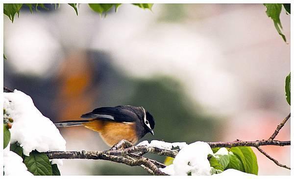 雪中鳥.jpg