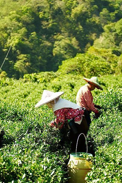 01茶葉採收.jpg