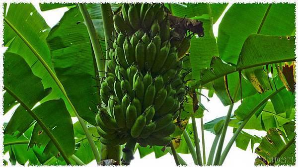 香蕉園03