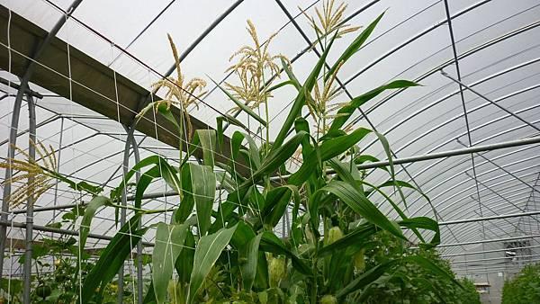 玉米的植株長得好高  也開始開花結穗了