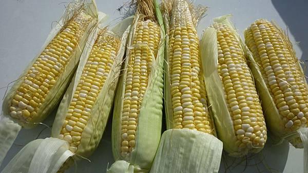 玉米採收了