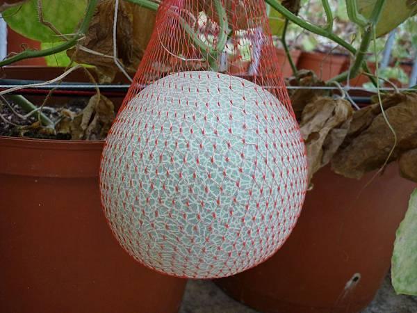 把洋香瓜套在網子裡  免得太重了掉下去