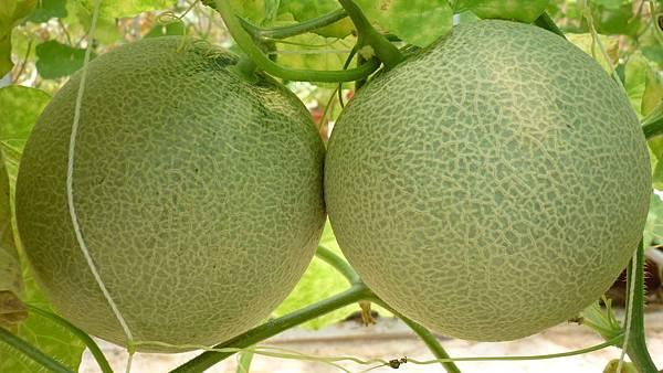 洋香瓜成熟了