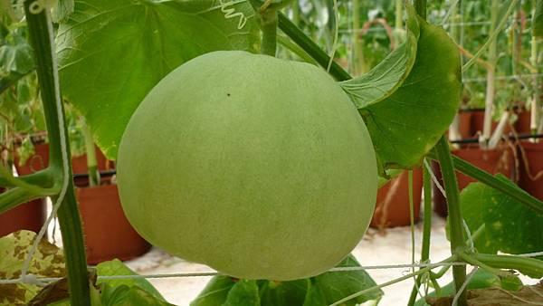 美濃瓜終於成熟了