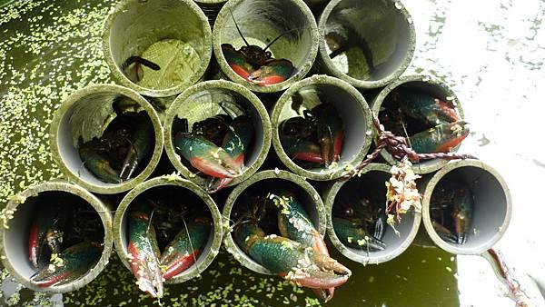 魚菜共生之龍蝦公寓