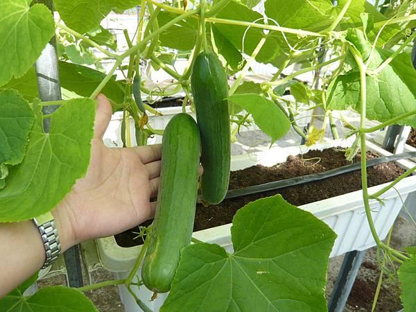黃瓜成熟了