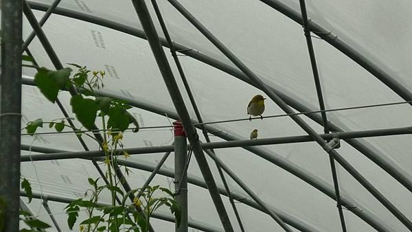 綠繡眼進駐  還在溫室裡下蛋  孵出小鳥  蟲害的問題減輕不少