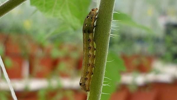 蟲害-番茄夜蛾