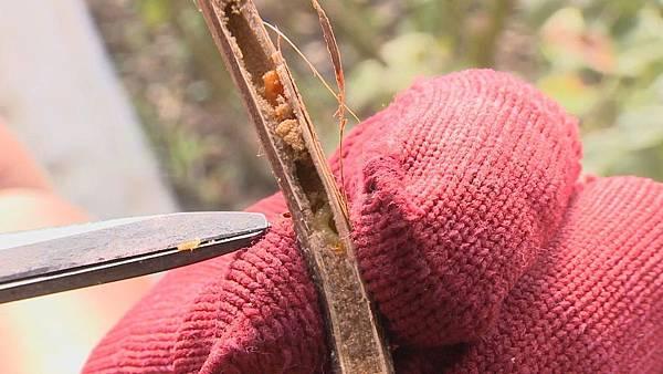 木蜂的幼蟲在裡面  等到牠成蟲的時候  牠就開始飛  然後再繼續開始鑽