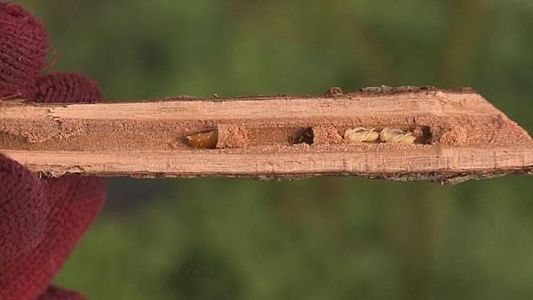 木蜂在這裡抓到了  木蜂牠會造成玫瑰枝條整個枯死  因為牠們會鑽玫瑰花的芯