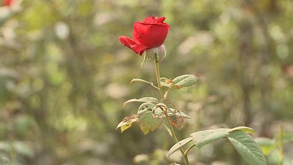 玫瑰花的葉子都被蟲子咬得坑坑洞洞的
