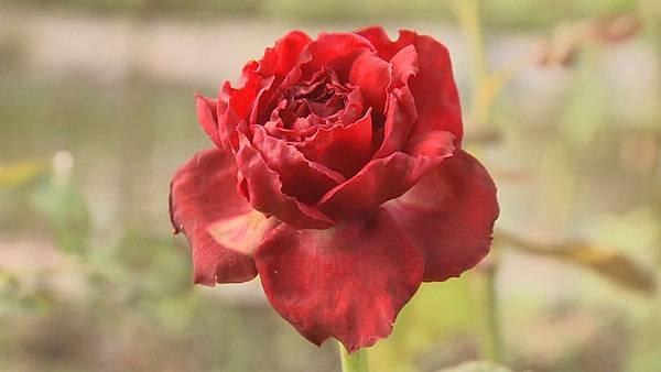 美味的食用玫瑰花  是農場主人章思廣從三百多種玫瑰裡 精挑細選出來的品種