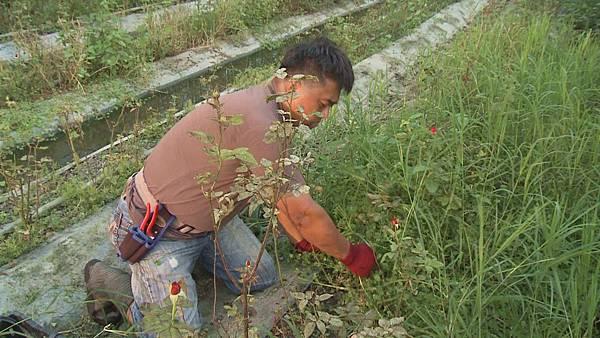 玫瑰園裡草長得很茂盛  農場主人認為減少人為干預  生態環境才能 平衡