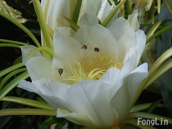 火龍果入夜開花,早上太陽一出,就慢慢謝了。