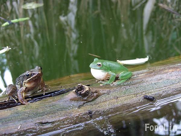 比一比哪一隻可愛啊!  是莫氏樹蛙呢? 還是另一隻呢?