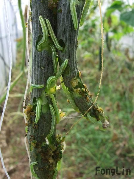 哇  小黃瓜上怎麼爬滿了的綠色蟲蟲