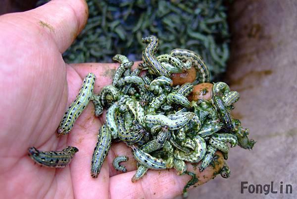 斜紋夜盜蟲俗稱黑肚蟲、土蟲或行軍蟲。初孵化的幼蟲為灰綠色,具群集性,三齡以後幼蟲漸轉為黑色。牠是雜食性,可危害多種作物。