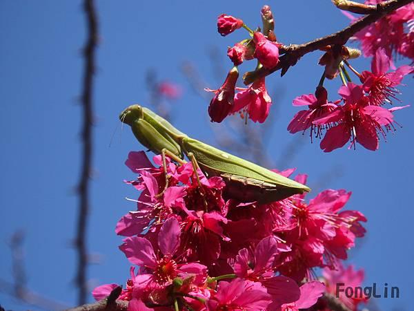 萬紅花中 一隻綠,原來是一隻張山豐最歡迎的捕蟲高手  螳螂