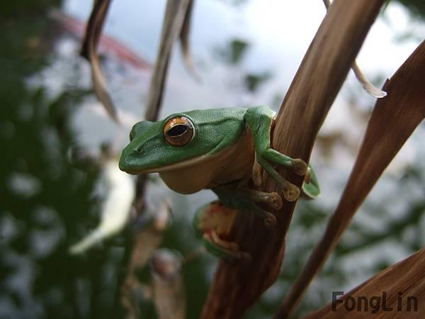 農場裡生態豐富,連莫式樹蛙都看得到喔!