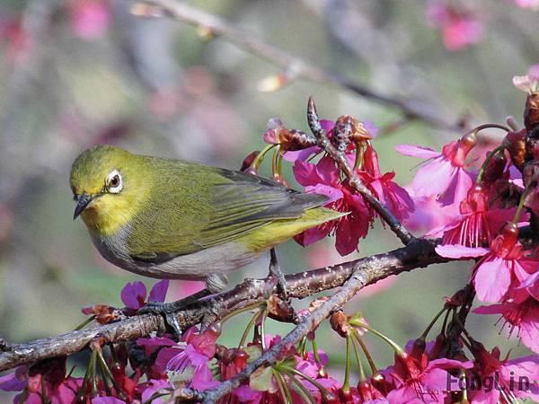 綠繡眼也來賞櫻花,不是啦!牠是來找空蟲吃的啦!