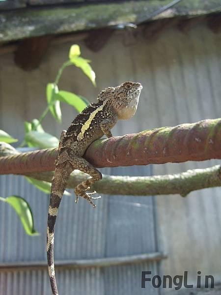 攀木蜥蝪也會幫忙吃昆蟲喔