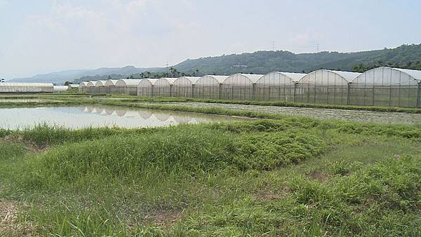 眼前這一大片溫室就是邱舜南打拼的成果  也是目前全台有機籚筍產量最大的農場