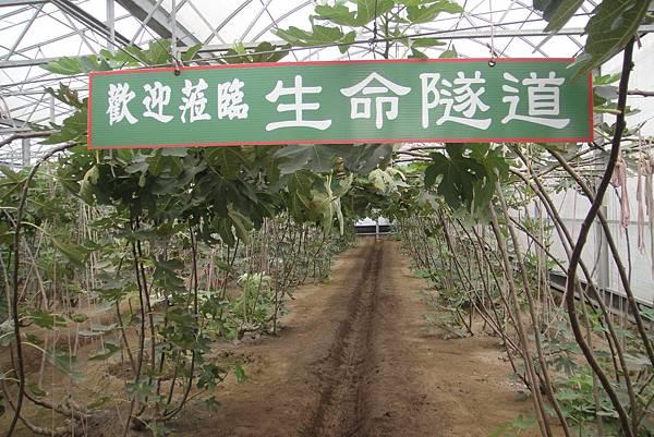 無花果又被取名為生命果  所以農場主人把果園的綠色走道  取名為綠色隧道